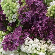lilac flowers white and purple lilac flower mix