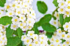 White Flowering Shrub - spring flowering shrub with small white flowers stock image