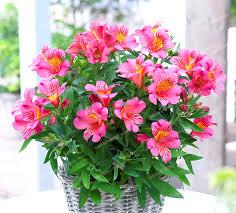 Lily Flower Garden - popular garden lily flower buy cheap garden lily flower lots from