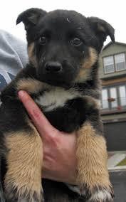 belgian shepherd x border collie border collie german shepherd husky mix in love cutie cute