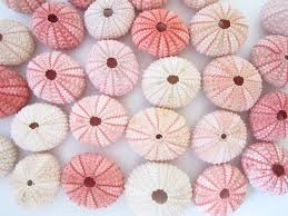 pink sea urchin set of 10 beach wedding decor sea shells bulk