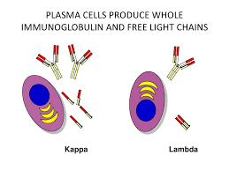 difference between kappa and lambda light chains free light chains
