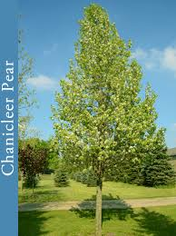 ornamental pears pao horticultural