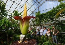 world u0027s smelliest plant branded the u0027corpse flower u0027 to unveil its