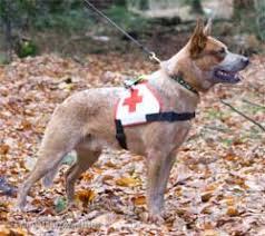 rescue a australian shepherd adopt an australian cattle dog illinois
