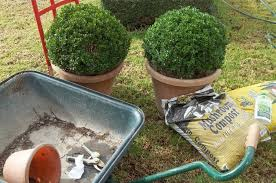 English Box Topiary - my cooking and my garden english box