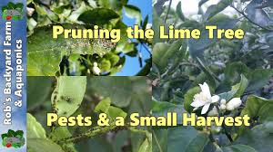 shaping the lime tree controling citrus tree pests a small