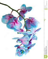 Blue Orchids Stem Of Blue Orchids Stock Photo Image 62312652