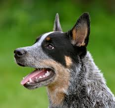 south texas australian shepherd the history of the australian cattle dog obican kennels