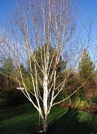 10 of the best trees for small gardens life and style the
