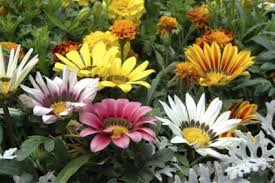 Flowers Information - tips for growing gazanias information about gazania plant care