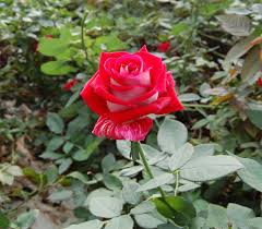rose fresh flowers catalog flora export s g israel ltd