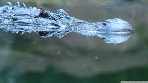 alligator hd wallpaper 1920x1080 collection 13 wallpapers
