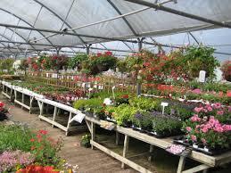 Fragrant Bedding Plants Bedding Finchley Nurseries Garden Centre