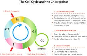 Mitosis Worksheets Cell Cycle Diagram Mitosis Complete Wiring Diagram
