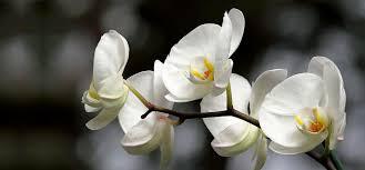 white flower white flowers obniiis
