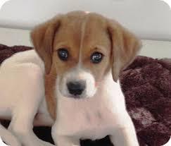 australian shepherd kalamazoo scout lynn adopted puppy kalamazoo mi labrador retriever