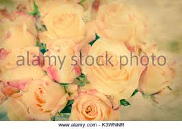 yellow roses with tips vintage tone yellow roses with pink tips stock photo royalty free