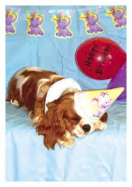 single blenheim cavalier in hat with balloon greetings card