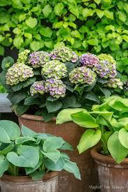 decoration avec des pots en terre cuite hortensias et hydrangéas conseils de culture et d u0027entretien