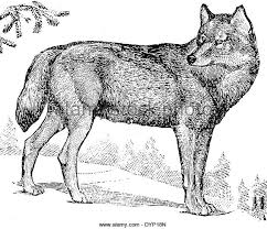 grey wolf black and white stock photos images alamy