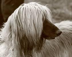 afghan hound speed afghan hound information dog breeds at dogthelove