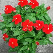 vinca flower 2018 madagascar periwinkle flower seeds catharanthus roseus