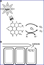 is light a form of energy mode of action of perylenequinone photosensitizers a