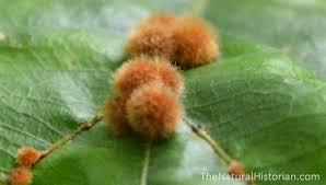 nh update fuzzy orange galls on oak leaves 2013 2015 u2013 naturalis
