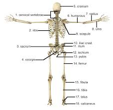 Human Anatomy Worksheet Anatomy Of The Skull Worksheet Human Anatomy Chart