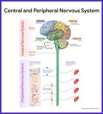 nervous systems images human anatomy reference