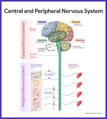 nervous system anatomy and physiology u2022 nurseslabs