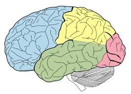 Anatomy Of The Brain And Functions Structure And Function Of The Brain Boundless Psychology