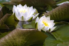 Lily Flowers Uses Of Water Lily Flowers Hunker