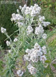 native plant seeds pycnanthemum pilosum hoary mountain mint whorled mountain mint