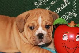 puppies indiana home of beabull puppies for sale in indiana