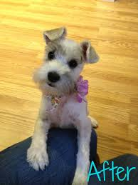 schnauzers hair cuts schnauzer cut at home with the fetch clan