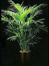 house plants low light good indoor tree plants low light and google image result for