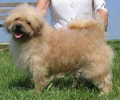 toilettage de l affenpinscher new zealand heading dog dog breeds pinterest manteaux
