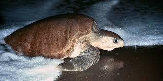 imagenes tortugas verdes desove de tortugas verdes en florida