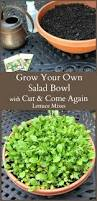 best 20 planting lettuce in containers ideas on pinterest