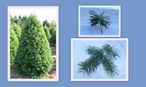 noble fir christmas tree christmas tree types doug noble grand fir