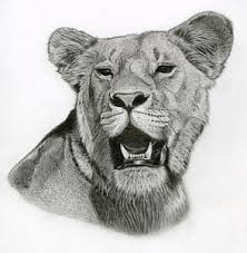 lioness drawings page 5 of 6 fine art america