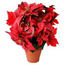 christmas plant how do i keep poinsettias alive and thriving for next christmas