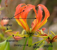 Style Flower Part - gloriosa superba plantz africa