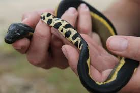 sea snakes blind snakes and the most extraordinary month of