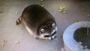 Racoon Meme - fat raccoon by unclfontfwo3 meme center
