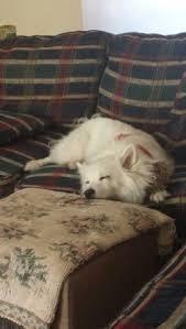 american eskimo dog yahoo american eskimo dog the american eskimo dog is a breed of