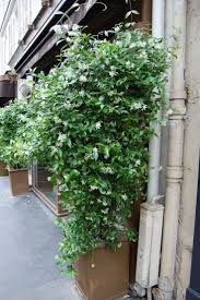 best 25 jasmine vine ideas on pinterest jasmine climber