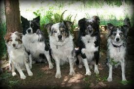 australian shepherd club of america aussies redwood dog sports center